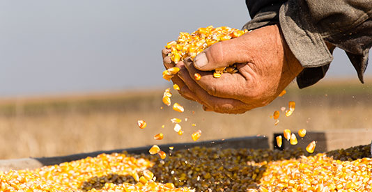 photo of abundant corn scooped up in hands